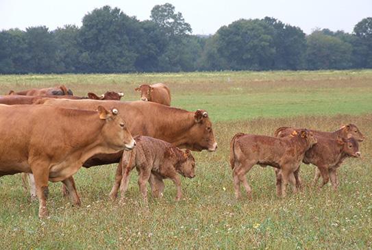 vache Limousine de la ferme basses vallées